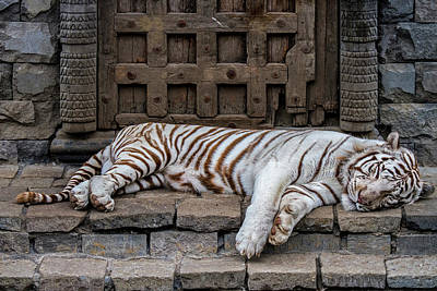 Photograph - Sleeping White Tiger by Arterra Picture Library