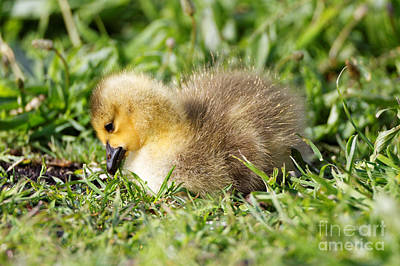 Photograph - Sleepy Baby Goose by Sue Harper