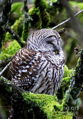 Photograph - Sleepy Barred Owl by Nick Gustafson