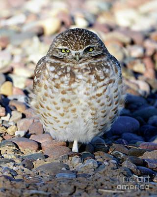 Sleepy Burrowing Owl Art Print