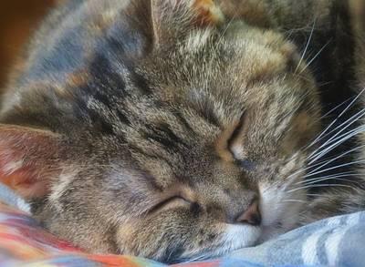 Photograph - Sleepy - Cat by MTBobbins Photography