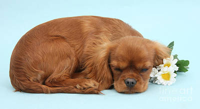 Photograph - Sleepy Cavalier by Warren Photographic