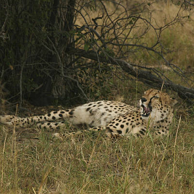 Photograph - Sleepy Cheetah  by Karen Zuk Rosenblatt