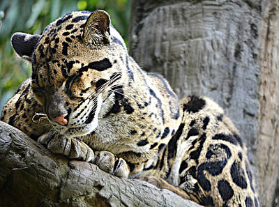 Ally Photograph - Sleepy Clouded Leopard by Ally  White