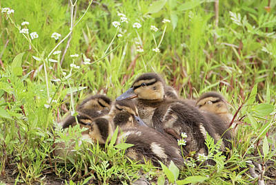 Sleepy Ducklings Art Print