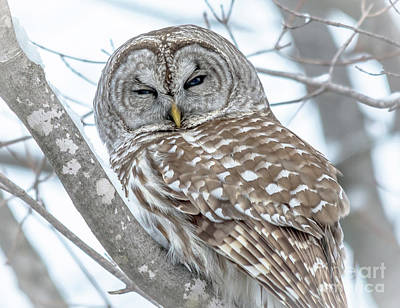 Photograph - Sleepy Eyed Barred Owl by Cheryl Baxter
