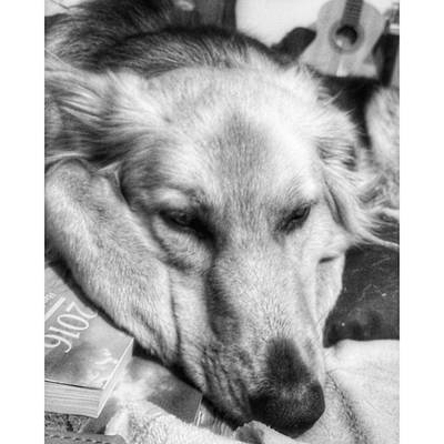 Photograph - Sleepy Girl  #dogs #petstagram #gsd by Isabella F Abbie Shores