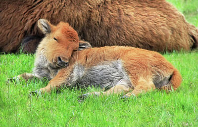 Photograph - Sleepy Head Buffalo Calf by Jennie Marie Schell