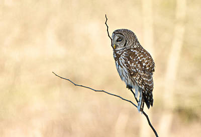 Photograph - Sleepy Hootie by Linda Shannon Morgan