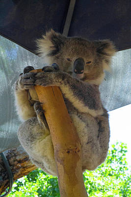 Animals Royalty-Free and Rights-Managed Images - Sleepy Koala 4 by Naomi Burgess