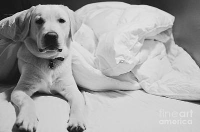 Photograph - Sleepy Labrador by Louise Fahy