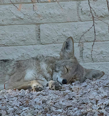 Photograph - Sleepy Li'l Coyote by Anne Rodkin