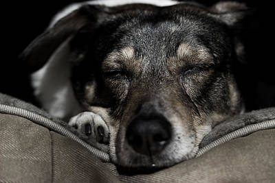 Photograph - Sleepy Lil Hound by Vincent White