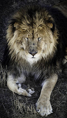 Photograph - Sleepy Lion by Jason Moynihan