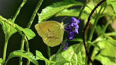 Photograph - Sleepy Orange Butterfly On Blue Porterweed by Carol Bradley