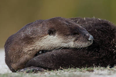 Photograph - Sleepy Otter by David Watkins