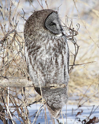 Photograph - Sleepy Owl by Doris Potter
