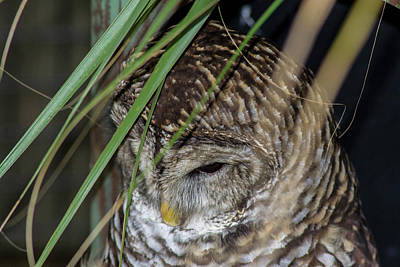Photograph - Sleepy Owl by Shannon Harrington