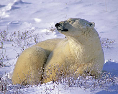 Photograph - Sleepy Polar Bear by Tony Beck