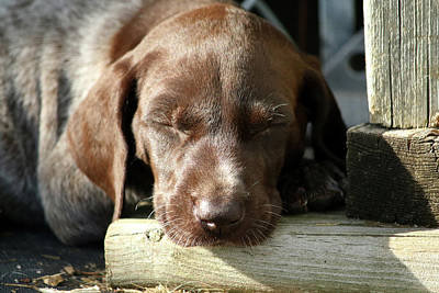 Photograph - Sleepy Pup by Brook Burling
