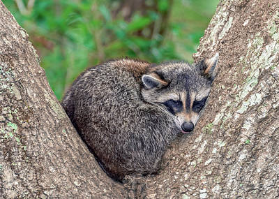 Photograph - Sleepy Raccoon Sticking Out Tongue by Rob Sellers