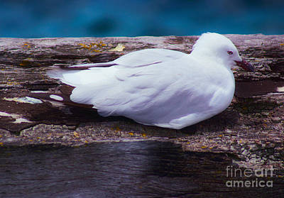 Busselton Photograph - Sleepy Seagull by Cassandra Buckley