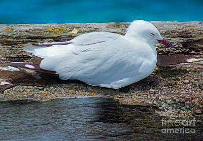 Busselton Photograph - Sleepy Seagull I by Cassandra Buckley