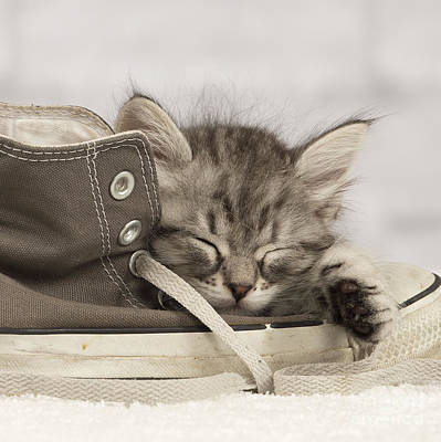 Sleepy Siberian Kitten Art Print by Jean-Michel Labat