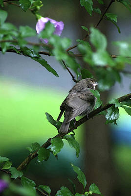 Photograph - Sleepy Sparrow  Ll by Margie Avellino