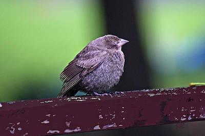 Photograph - Sleepy Sparrow by Margie Avellino
