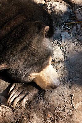 Photograph - Sleepy Sun Bear by Travis Rogers