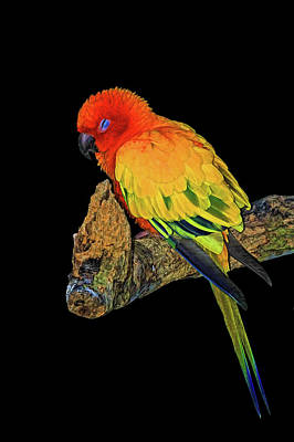 Photograph - Sleepy Sun Conure by HH Photography of Florida