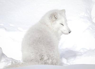 Photograph - Sleepy Time Arctic White Fox by Athena Mckinzie