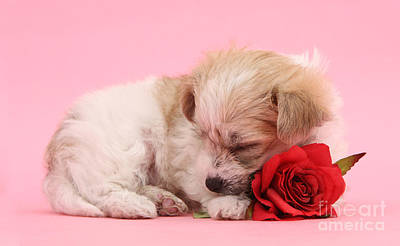 Photograph - Sleepy Valentine by Warren Photographic