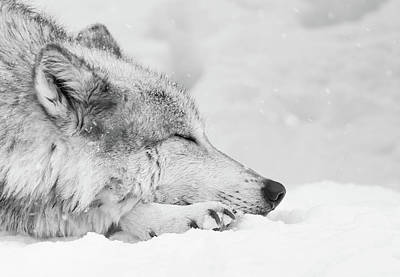 Photograph - Sleepy Winter Wolf by Athena Mckinzie