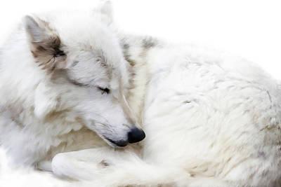 Photograph - Sleepy Wolf by Athena Mckinzie