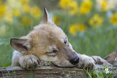 Wolf Pup Photograph - Sleepy Wolf Cub by Jean-Louis Klein & Marie-Luce Hubert