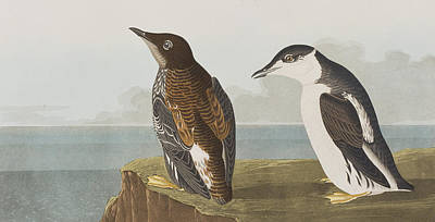 Edge Painting - Slender-billed Guillemot by John James Audubon