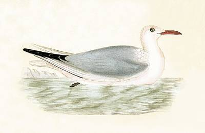 Gull Seagull Painting - Slender Billed Gull by English School