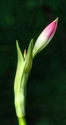 Photograph - Slender Bud by Richard Omura