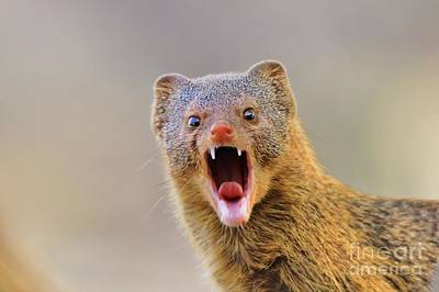 Photograph - Slender Mongoose - Life Is A Growl by Hermanus A Alberts