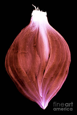 Photograph - Sliced Onion by Clayton Bastiani