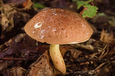 Photograph - Slick Glistening Mushroom Polyporaceae by Douglas Barnett