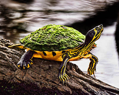 Slider Photograph - Slider Turtle by Joe Granita