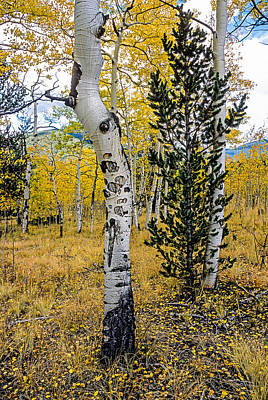 Photograph - Slightly Crooked Aspen Tree In Fall Colors, Colorado by John Brink