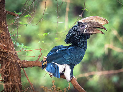 Photograph - Slivery Cheeked Hornbill by Robin Zygelman