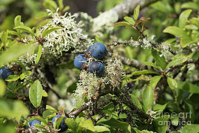 Photograph - Sloe Berries And Lichen by Terri Waters