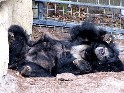 Photograph - Sloth Bear  by Chris Mercer