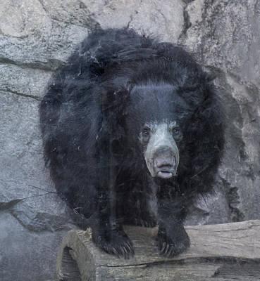 Photograph - Sloth Bear Portrait by William Bitman