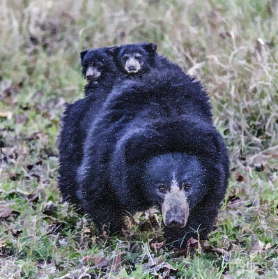 Digital Art - Sloth Bear Mum With Two Tiny Cubs On Her Back by Liz Leyden